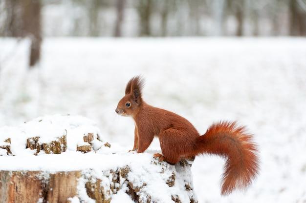 Portrait d'écureuils se bouchent sur un fond de neige blanche