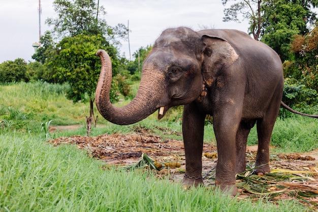 Portrait d'éléphant asiatique thaïlandais beuatiful se dresse sur l'éléphant champ vert avec des défenses coupées taillées