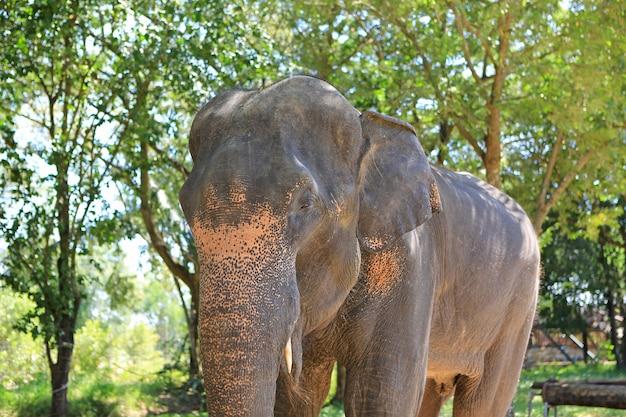 Portrait d'éléphant dans le zoo