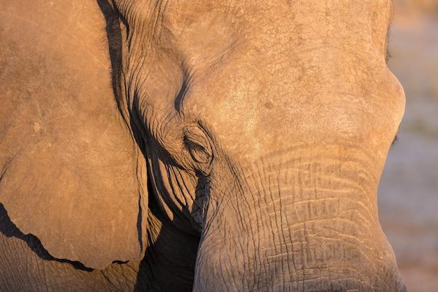 Portrait d'un énorme éléphant d'afrique frappé par la chaude lumière du coucher du soleil