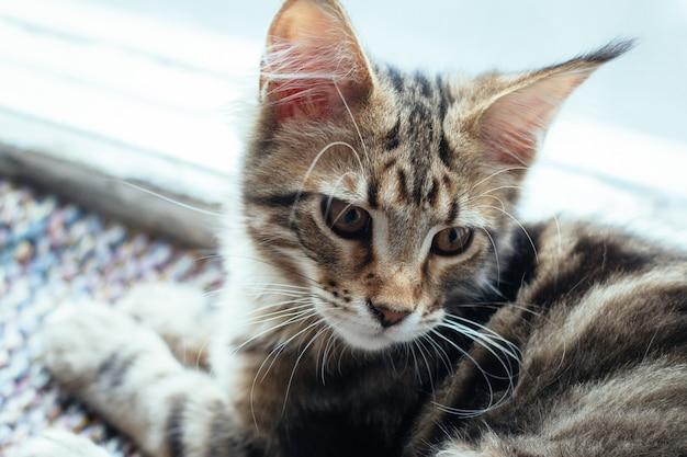 Portrait extrêmement agrandi de chaton domestique maine coon tricolore tabby âgé de quelques mois.