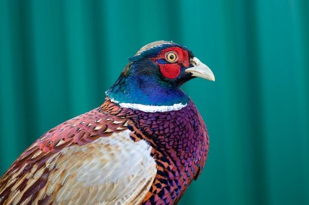Portrait de faisan au plumage coloré