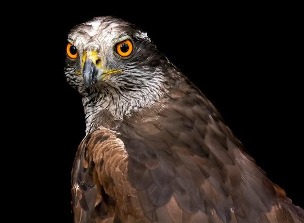 Portrait d'un faucon sur fond noir