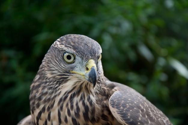 Portrait de faucon.