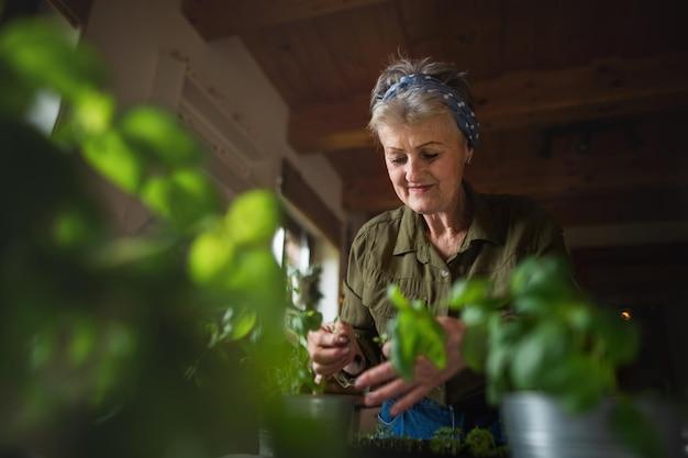 Portrait d'une femme âgée heureuse à l'intérieur à la maison, plantant des herbes.