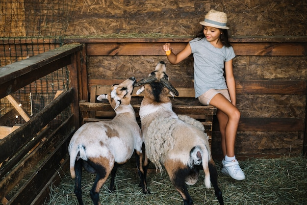 Portrait d'une fille assise dans la grange en train de nourrir des moutons