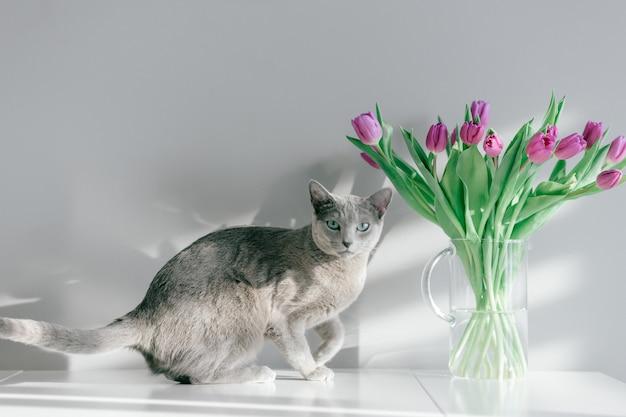 Portrait de flou de chat bleu russe ludique et actif posant sur table avec bouquet de tulipes dans un vase en verre.
