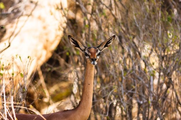 Portrait de gazelle gerenuk. samburu, kenya.
