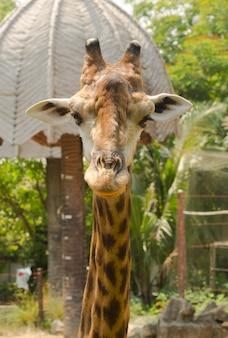 Portrait d'une girafe curieuse (giraffa camelopardalis)