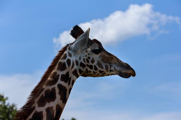 Portrait d'une girafe curieuse giraffa sur un ciel bleu avec des nuages blancs dans la faune