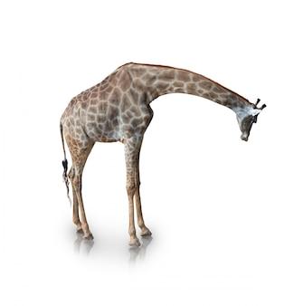Portrait de girafe isolé sur blanc (tracé de détourage