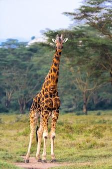 Portrait de girafe masai