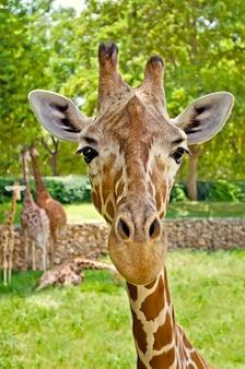 Portrait d'une girafe regardant directement la caméra.