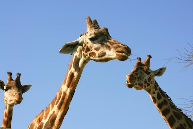 Portrait de girafe, tête et cou sur ciel bleu