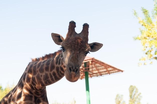 Portrait d'une girafe