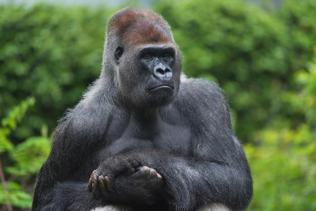 Portrait d'un gorille à dos argenté des plaines de l'ouest
