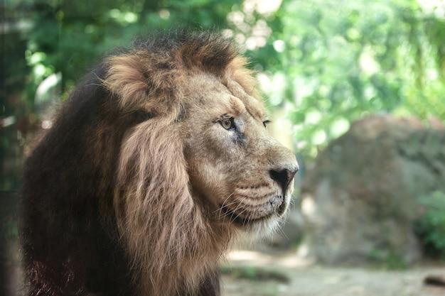 Portrait d'un grand beau lion