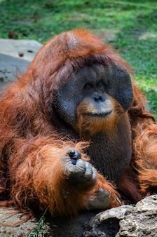 Portrait d'un grand orang-outan mâle