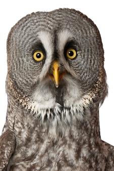 Portrait de great grey owl ou laponie owl strix nebulosa un très grand hibou isolé