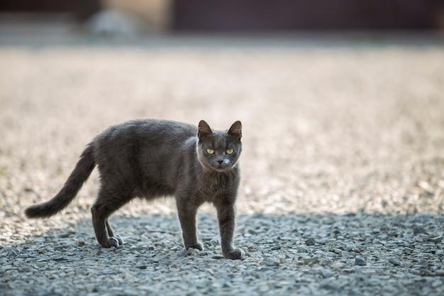 Portrait de gris grand adulte à poil court chat aux yeux verts debout à l'extérieur sur de petits cailloux regardant directement vers la caméra sur un espace de copie ensoleillé et flou.