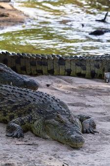 Portrait de gros crocodile sur les rives de la rivière grumeti, serengeti