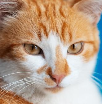 Portrait de gros plan de beau chat rouge-blanc aux yeux dorés.