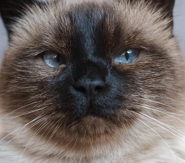 Portrait de gros plan de beau chat siamois aux yeux bleus.