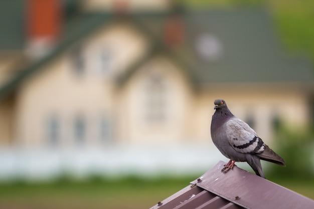 Portrait de gros plan de beau grand pigeon cultivé gris et blanc avec des yeux orange et un plumage épais perché sur le toit de tuiles en métal brun sur fond de bokeh de maison à deux étages coloré et lumineux.