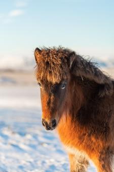 Portrait en gros plan d'un cheval islandais en hiver