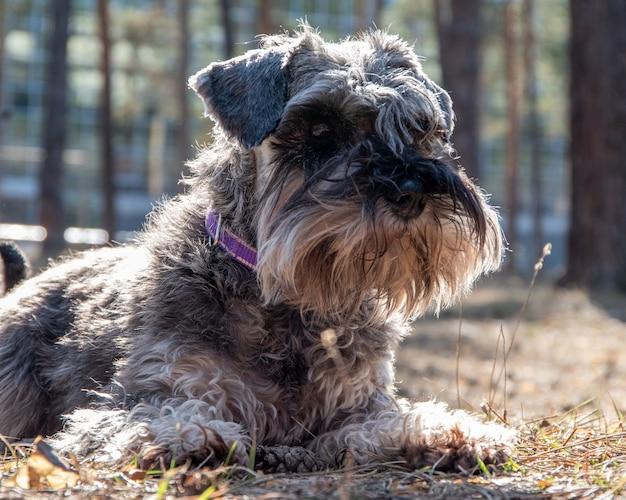 Portrait en gros plan d'un chiot schnauzer. un chien en promenade est allongé sur le sol et attend le propriétaire.