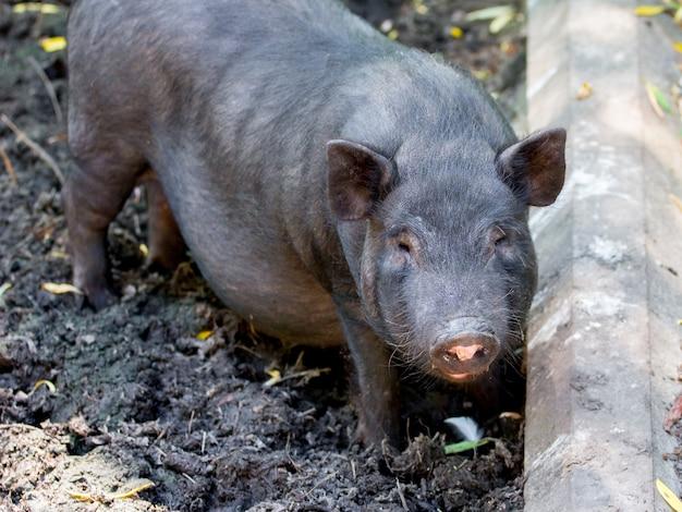 Portrait d'un gros plan d'un cochon vietnamien noir blanc dans une cour de ferme par temps ensoleillé _