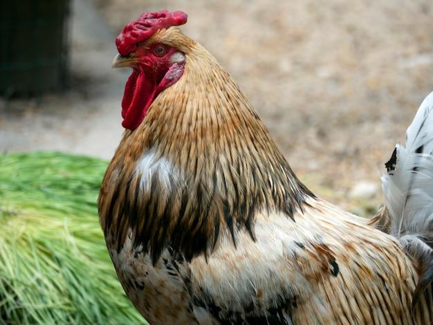 Portrait en gros plan d'un coq rouillé.