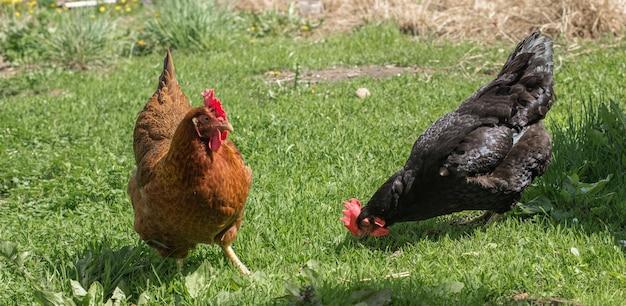 Portrait en gros plan de deux poules sur une herbe verte. les poules marchent dans la cour de la ferme.