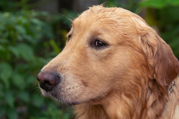 Portrait de gros plan du visage golden retriever