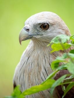 Le portrait en gros plan d'un faucon rouge a une couleur brun rougeâtre sauf que la tête et la poitrine sont blanches.