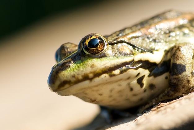 Portrait d'un gros plan de grenouille.