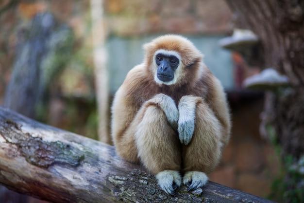 Portrait de gros plan d'un singe gibbon à la main blanche ou d'un singe lar gibbon assis sur une branche au zoo