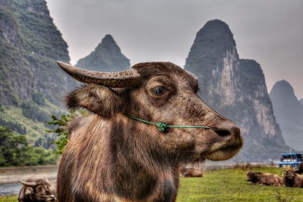 Portrait en gros plan d'un taureau rouge paissant dans un pâturage au bord de la rivière lijiang, dans la région agricole du sud-ouest de la chine, près de la ville de guilin et yangshuo, province du guangxi.