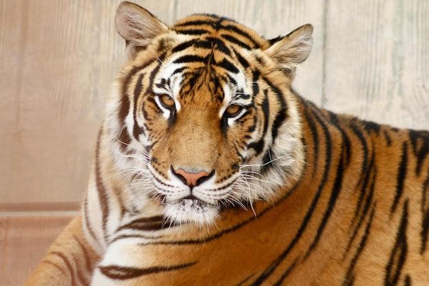 Portrait en gros plan d'un tigre