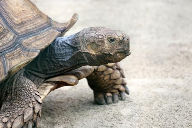 Portrait d'une grosse tortue