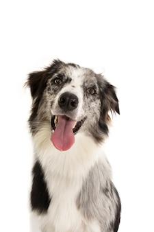 Portrait heureux merle border collie chien isolé