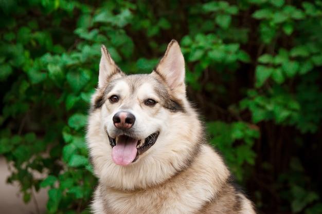 Portrait husky heureux sur les feuilles vertes