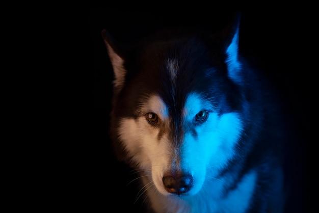 Portrait de husky d'une tête de loup sur fond noir