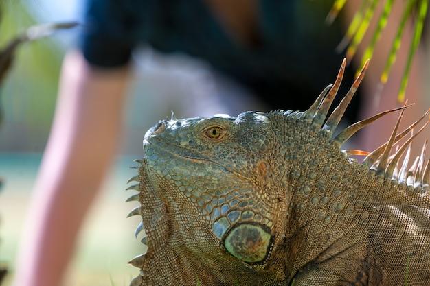 Portrait d'iguane tropical