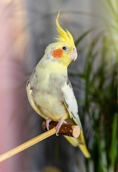 Portrait intérieur d'un perroquet corella assis sur un bâton en bois.