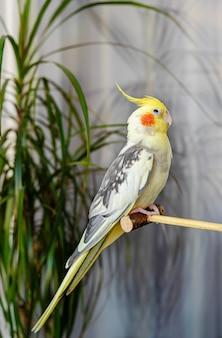Portrait intérieur d'un perroquet corella oiseau chanteur assis sur un bâton en bois à l'intérieur.