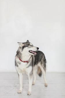 Portrait isolé d'un chien kidskin