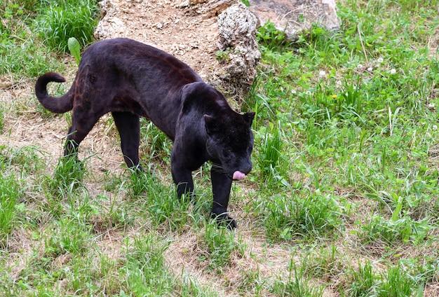 Portrait d'un jaguar marchant dans le champ