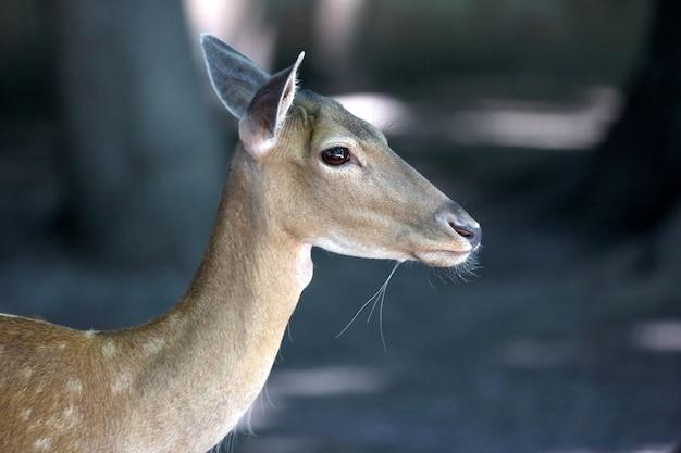 Portrait d'un jeune cerf en jachère
