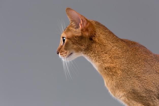 Portrait de jeune chat abyssin de race pure